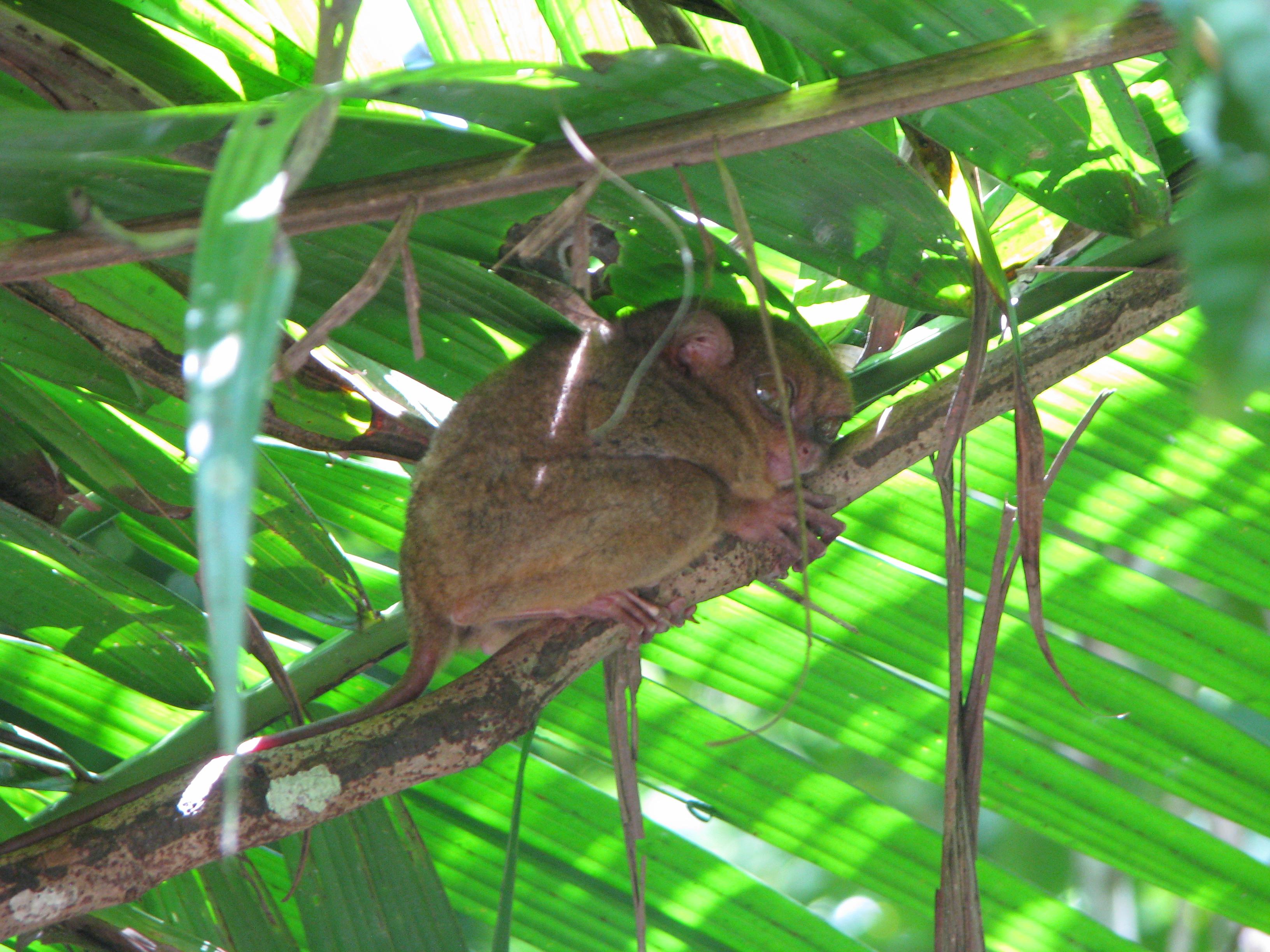 Bohol, Tarsier Monkey