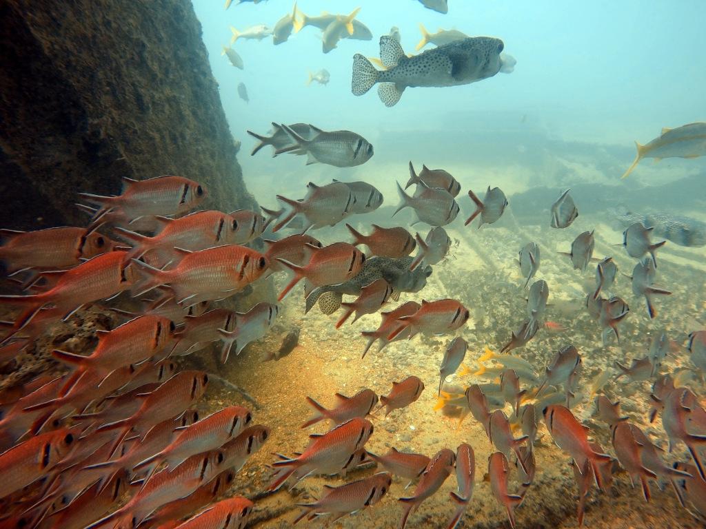 Mostly blackbar soldierfish