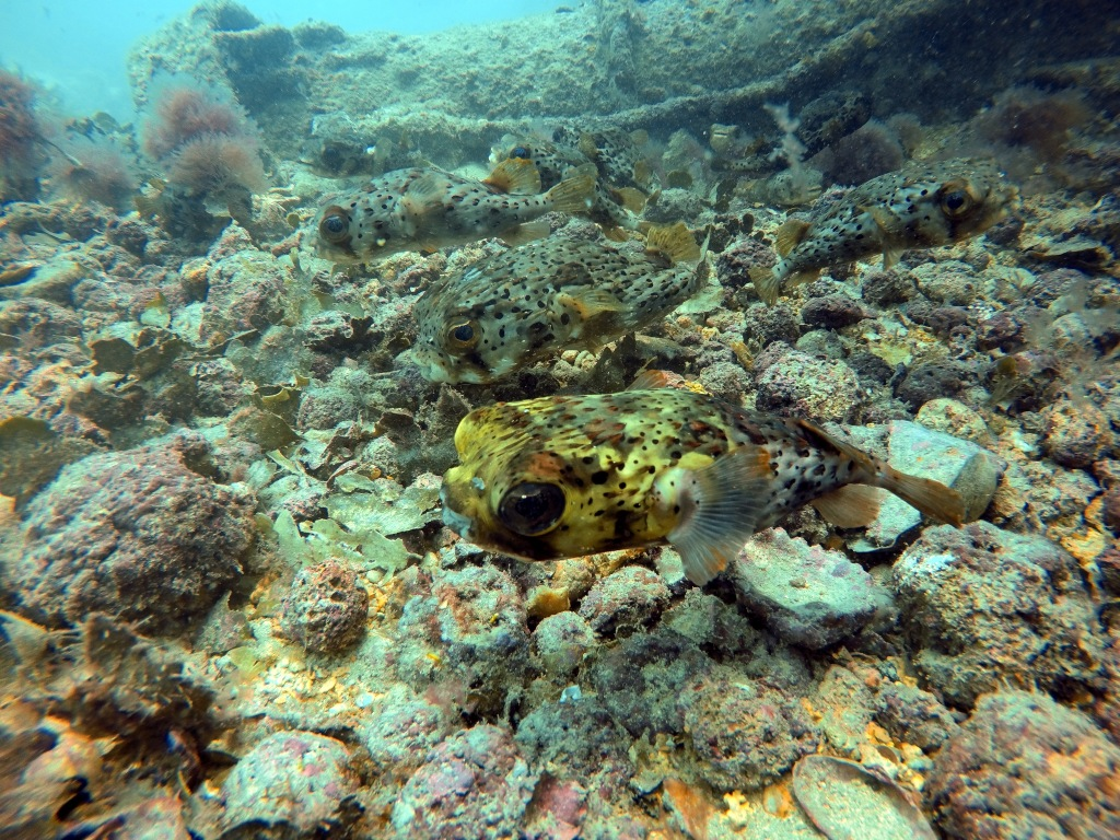A porcupine fish with a yellow heard