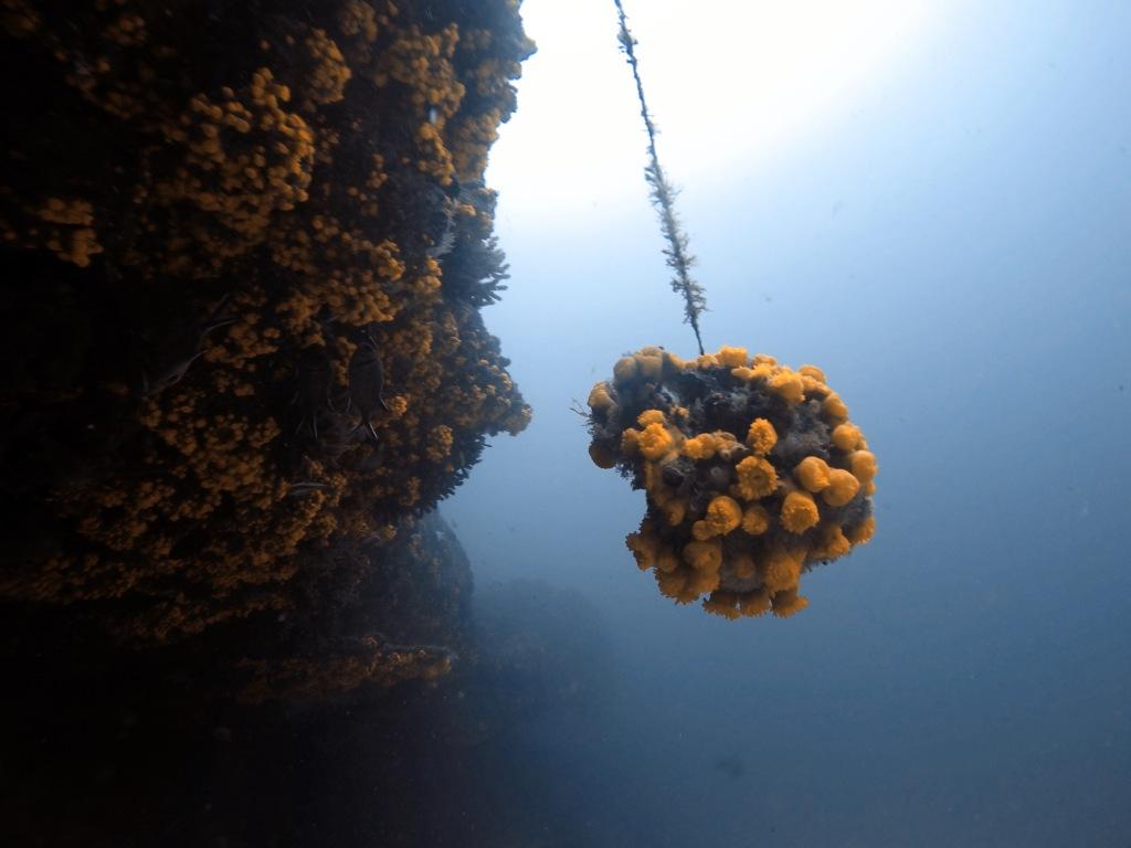 Sun corals